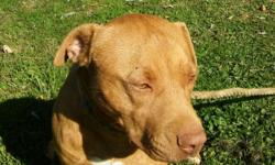 Red Nose pit for sale!!!