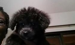 THE PICTURE I PUT UP IS HOW MY PUPPYS LOOK THE PUPPY GO TO YOU AT 8 WEEK OLD I HAVE BOYS AND GIRLS SHIH POO SEPTEMBER 15 AND SEPTEMBER 22 2014 CALL ME IF YOU LOOKING FOR A GOOD PUPPY IF YOU DO HALF DOWN ON THE PUPPY PICK UP YOU PAY IT OFF BOYS OR