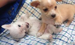 They're very adorable puppies of 2months and a week. They very adorable and very outgoing when they're not sleeping. They are very fun and hilarious when they do little stunts your normally see a older dog would do. They're mind blowing and very catchy