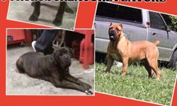 ICCF REGISTERED PORTIA X ALCOR'S CREATURE FEATURE PUPS. Dam: 100 lbs. Daughter of cherubs hitman. Sire: 160 lbs. Of Alcor. With numerous Champion's in both parents lines this litter promises to produce great pups. Size, bone, head and energy is what you