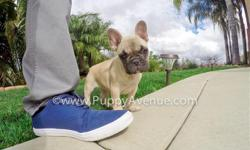 This perfect pup needs a great and responsible family! Meet ?Giselle?, our unique female French Bulldog from Hungarian imported lines. She has the sweetest temperament, and she?s available in San Diego.  * 10 weeks old * Adult weight: 22-27 lb. *