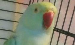 Beautiful Indian ringneck 2 1/2 yrs old female Mimics sounds and jeaperdy tune Does need work Allows me to pet her has to get use to new people Pick up only 400.00 with cage Or 300.00 without