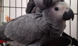 Sweet , well socialized baby African Grey Congo Parrot . Recently weaned and eating a healthy well balanced diet. We are looking to place this sweet baby bird in a good loving home. $900.00 firm
