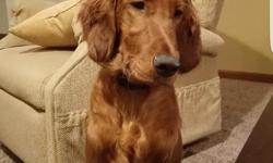 Irish Setter for sale. He is 8 months old and loves to cuddle. He can sit, stay and is potty trained. We moved unexpectedly and he doesn't have a lot of room to run:( I am asking $500 for him. If you need more info or pictures text me at 765 431 5288.