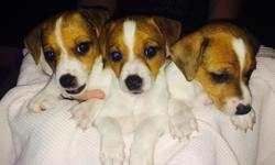 Jack Russell puppies for sale 2 males 3 females for sale mother and father pure breed,They are 7 weeks old ready to go in 1 week, tails were cropped at 4 days old and they have completed the deworming process, they will be getting they're first puppy