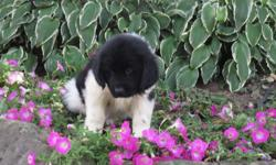 Ciao! I'm Jackie, the endearing, black and white female AKC Newfoundland! I was born on June 6, 2016! I'll come with shots and worming to date. You know I wish I could find that one family who will love, care for me always and who will never leave