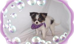 """This baby girl is adorable. She is sweet and gentle and full of love. She is a Japanese Chin and Papillion mix-""""Papichin"""". She will make an excellent family pet.She is micro chipped.She comes with her first series of shots, wormings and a Vet Health"""