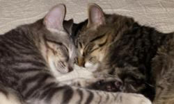 Java and Joe are one year old kittens that were rescued together so I am hoping someone will adopt them together.  They have been neutered and have lived indoors only.  They are both affectionate and will climb in your lap.  Joe (gray short