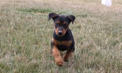 Jewel is an black and tan Rottweiler female and she will fill your home with happiness. She was born on May 29, 2016. She just can't wait to be part of your loving and caring family. She is great around kids and other animals. They are asking