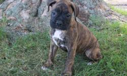 Ellos! I'm Jill, the sweet brindle female AKC Boxer! I was born on June 1, 2016! . I would like to have someone that would love me for always and forever! They're asking $799.00 for me. I'll come shots and worming to date. If you think I would