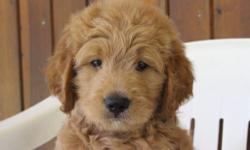 Yo! I'm Jimmy, the male F1 Goldendoodle. I'm full of joy and love, can't get enough attention. I was born on June 9, 2016, my mom is 56 lbs and dad is 60 lbs. They are asking $799.00 for me. I'll come with shots and worming to date! If you think that