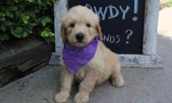 Hello There! I'm Joe, the loving male F1 Goldendoodle. I have been told I am handsome and affectionate. I'll come with shots and worming to date! I was born on June 9, 2016, my mom is 55 lbs and dad is 65 lbs. They areasking$850.00 for