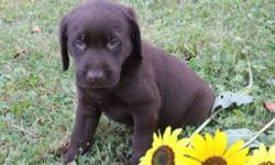 Hallo! I'm Jordan, the fun-loving chocolate AKC Chocolate male Labrador Retriever! I was born on June 12, 2016!  I'll come vet checked, with my shots and worming to date. I am playful, smart, kind and always be by your side.. They're asking