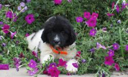 Howdy! I'm Kate, the black and white female AKC Newfoundland! I was born on June 6, 2016! I'll come with shots and worming to date. You know I wish I could find that one family who will love, care for me always. They're asking $1199.00 for