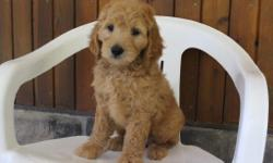Ellos ya'll! I'm Kendra, the delightful female F1 Goldendoodle. I'm full of happiness, love and can't get enough attention. I was born on June 9, 2016, my mom is 56 lbs and dad is 60 lbs. They are asking $799.00 for me. I'll come with shots and