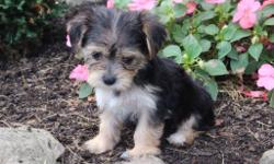 Hello. . . Hello it's me, Kendra! The adorably sweet tri-color female Morkie! I was born on June 7, 2016 and my parents 9 & 7 lbs. They're asking $599.00 for me.! I just can't wait to meet my new family. . . I get so excited just thinking about what