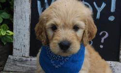 YO! I'm Kenny, the Coolest male F1 Goldendoodle. I have been told I am adorable and sweet. I'll come with shots and worming to date! I was born on June 9, 2016, my mom is 55 lbs and dad is 65 lbs. They areasking$850.00 for me.Do