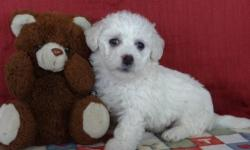 Wanna love someone as cute as me? Well then you've found him! Hey There, I'm Kenny! The fun, loving Male Poochon! I was born on January 26st, 2015 People always talk about how cute my name is, or how amazing my fluffy light white colored fur looks, and