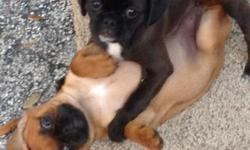 3 girl Pugaliers. 2 brown, 1 black. Mother is a black pug, father is a ruby cavalier. 9 weeks old. Raised under foot in a home with kids, cats and dogs. Wonderful temperaments for indoor family pet. Wash and wear coat. No grooming bills. 1st shots,