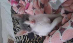 Hi im selling my 8 week old white and grey kitten. He is litter trained and eats well. He is really sweet.