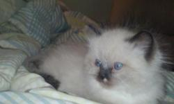 &nbsp;1 female, 1 male, seal-point persian/ragdoll, born 12/1/13 GREAT PERSONALITY< VERY SOCIAL. I have both parents. READY TO BECOME A PART OF YOUR FAMILY. For more info Please call --