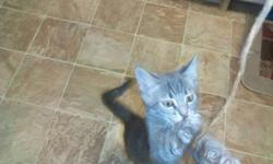 Indoor Domestic Vaccinated Lap Kittens 1M`s & 2f``s Only 97 Days Old! Chubby Healthy Properly Husbanded Baby Squeakers! With Purrrfect Attention To All The Details. Some With Naturally Bobbed Tails! Some With Short Hair Some Semi Long Hair. Mommy & Daddy