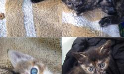 Adorable kittens for Sale ! Will be available in 2 weeks. Pleasee-mail me at Anastasia.sn@aol.com for questions/inquiries.