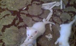 I have two all white kittens, a copper colored and white kitten, male, and a black and white kitten that need good homes. Looking for indoor homes, and responsible loving people.