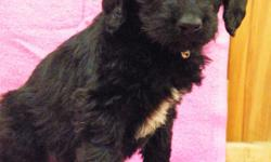 Lab-Standard Poodle Mix puppies. Very sweet and loving need a good and loving home. Will make a great family pet and will be great with kids. Dewormed.D.O.B. 12-6-2015 feel free to call 414.464,2287 for more info.