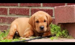 Lab Puppies - AKC Registered- Fox Red, Yellow, and White available. Both parents on site. Championship Bloodlines UTD on shots and worming- $500 - 270-945-9355