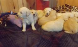 "Here is a very cute healthy family of Labradoodles. Please, it is in your best interest to receive A.K.C pedigrees on both parents whenever buying a ""doodle."" Many people will breed ""off breeds"" to get doodles. Non A.K.C. Parents will negate the great"