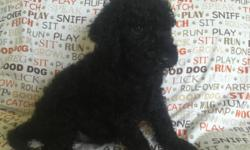 LABRADOODLE PUPPIES F1b's Black and Buff vet checked, shots, dewormed  health certificate, non~shedding, hypoallergenic  males and females