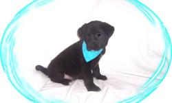 This baby boy is a big lovebug. He is so goofy and has a great personality. He has been well socialized and should make a great family pet. He is a Lab and a Border collie mix.He comes with his first series of shots, wormings and a Vet Health Certificate.