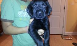 AKC registered puppies, 1st shots, microchipped, dewormed, 8 weeks old black males that are home raised and socialized.