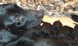 EXCELLENT BRED BLACK LABRADOR RETRIEVER PUPPIES AVAILABLE..PARENTS HIPS CERTIFIED AND CLEAR ON EVERYTHING..THESE DOGS WILL BE VERY INTELLIGENT,,SEE THE PICTURES AND PEDIGREES AT WWW.WELLERKENNELS.COM ,CLICK PUPPY LINK...OUTSTANDING BLOODLINES..