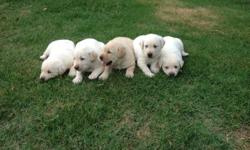 CKC Registered. 3 Yellow Males and 1 Yellow Female Avaialable. Vet Health Check, 1st shots, and worming. Health Guaranteed. Born 5/25/2014. Ready for new homes on 7/6/14.