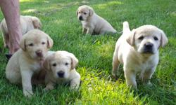 AKC Beautiful Labrador Retriever puppies. Cream, 6 weeks old. Good pedigree.
