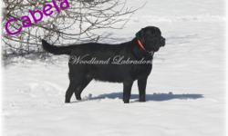 We are expecting 2 litters of puppies in May. They are going to produce some awesome black, yellow and chocolate pups. Our main goal in raising Labrador Retriever puppies is to take loving care of them while they are with us and to find new homes
