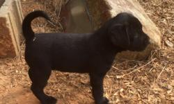 **REDUCED** **ONLY ONE LEFT ** 8 week old Labrador retriever puppies. All black. AKC registered. Champion bloodline out of California. Pictures do not do them justice! $800 Call Reggie 678-654-8450 Another one sold!! Only 1 female left!!