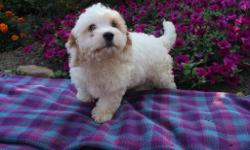HELLO! I'm Labron, I'm sweetest male Cavapoo! I was born on April 27, 2016. Do you want someone who can bring love and joy into your home?! Then I am your guy. They're asking $599.00 for me! I have been vet check and neutered. I'll come home