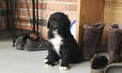 Howdy ya'll! I'm Lacey, the female Bernadoodle. I am a designer breed between a Standard Poodle and Bernese Mountain Dog. I just can't wait to have a family of my own to watch over and love forever! I was born on June 9, 2016. They're asking $850.00