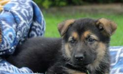 Naomi is a laid back German Shepherd puppy with a nice stocky build. This charming pup is vet checked, up to date on shots and wormer, plus comes with a health guarantee provided by the breeder. Naomi is raised with children and is sure to make a