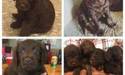 We are excited to announce the arrival of Zoey long awaited litter of CKC Labradoodle puppies! Our puppies come from exceptional health checked lines and are specifically breed for their health, intelligence, coat and temperament. Our puppies were