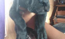 Only one male left he is a large 9 week old puppy and is ready for his new forever home now. He is socialized with children and other animals. Can be a bit shy at first but warms up very quickly he has not been around a lot of strangers so this is why he