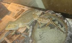 This Large Female Bearded Dragon is ready to bread. For more information call 317-480-0419
