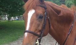 Rameesh lennon is a KWPN registered mare horse, chesnut in color. Born May 16 2005, 11 yr old. Foaled and bred in Massachusets. Got blaze and 3 white socks. No other markings. Solid local adult hunter with cute jump. Pretty mover and well schooled on the