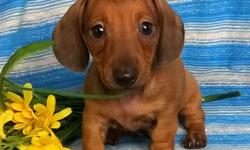 Meet Lenny! he is a handsome ACA Registered Male Mini Dachshund. The Dachshund Dog Breed is lively, playful, devoted, clever, stubborn  and courageous. This breed is an excellent breed for families, and should be well socialized. He was born June 20,