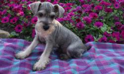 Hello! I'm Leo, the charming male AKC Miniature Schnauzer! I'm just too adorable to resist! Do you think? I was born on May 5, 2016 from a 11 lb mom and a 12 lb dad! I love to play ball, fetch and curl up on your lap. They're asking $950 for me! I'll come