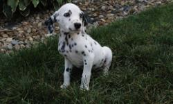 Hello There, I'm Lewis, the amazing male AKC Dalmatian! Who can resist my lovely liver and white spots? I was born on June 8, 2016. Mom weighs 48 lbs and my dad weighs 75 lbs. They're asking $795.00 for me! I will come with my shots and
