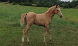 LILLY WILL BE WEANED IN EARLY DECEMBER AND IS PROVING TO BE AN EASY TO TRAIN AND LEVEL HEADED FILLY. SHE HAS VERY NICE CONFORMATION AND WILL PROBABLY MATURE TO STOCKY HEIGHT OF 15 2 HH. SHE HAS TWO WHITE HIND SOCKS AND A NICE WHITE BLAZE. HER EYES ARE